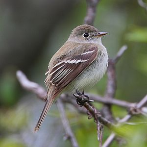 Least Flycatcher Empidonax minimus. Hillman Ma...