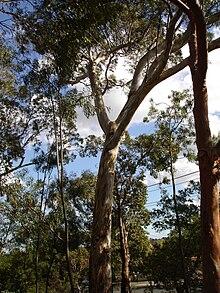 Eucalyptus leucoxylon  Wikipedia