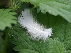English: Feather in the woods at Alford This s...
