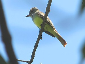 English: Great Crested Flycatcher (Myiarchus c...