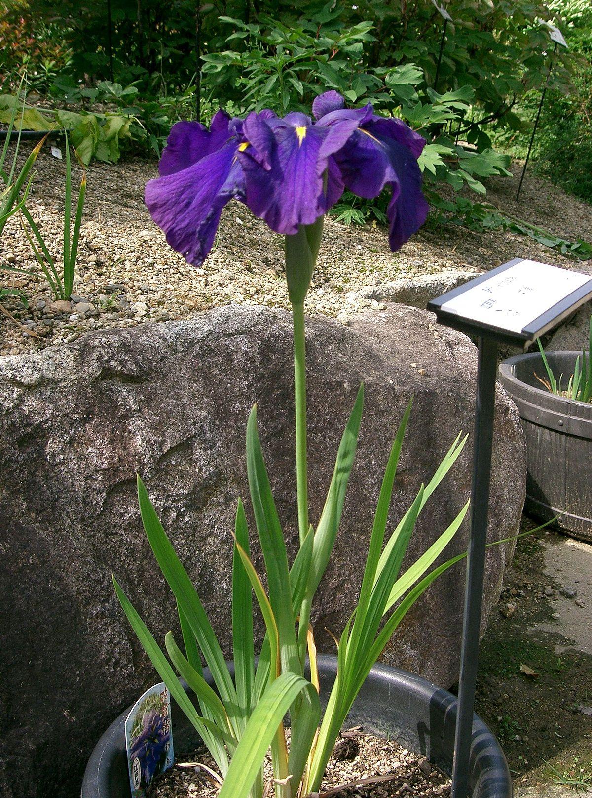 Iris Ensata Wikimedia Commons