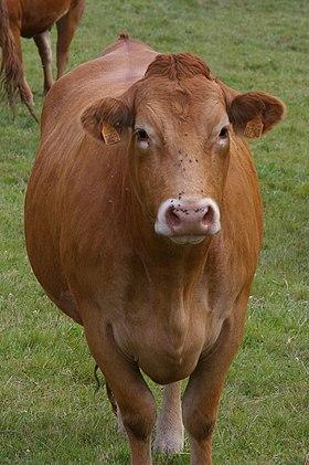 Limousine (race Bovine) : limousine, (race, bovine), Limousine, Bovine), Wikipédia