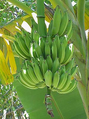 English: Musa sp. (banana tree)