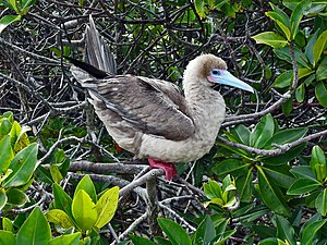 English: Red-footed Booby (Sula sula) on the G...
