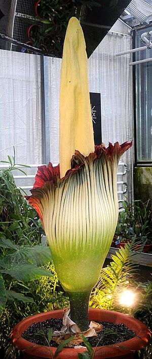 Amorphophallus titanum Deutsch: Titanenwurz im...