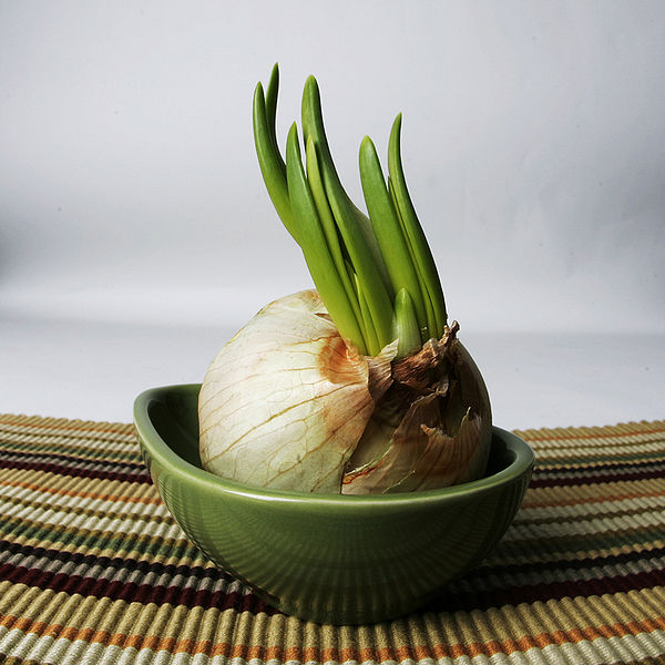 a bulb of garlic sprouting