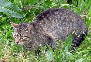 http://commons.wikimedia.org/wiki/Image:Gato_e...
