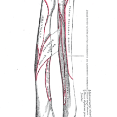 Forearm Bones Diagram Cat 5 Telephone Wiring Ulna Wikipedia The Radius And Of Left Posterior Surface