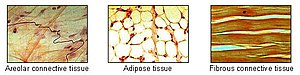 Adipose tissue is one of the main types of con...