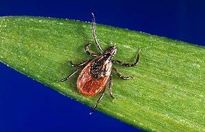 These black-legged ticks, Ixodes scapularis, a...