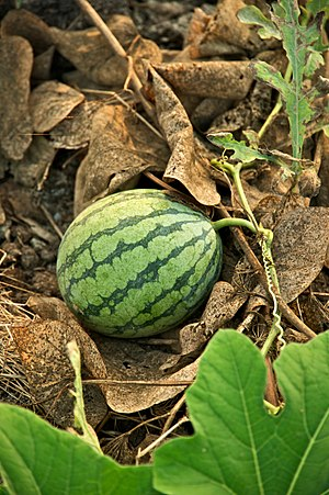 Watermelon in a small-scale organic farm