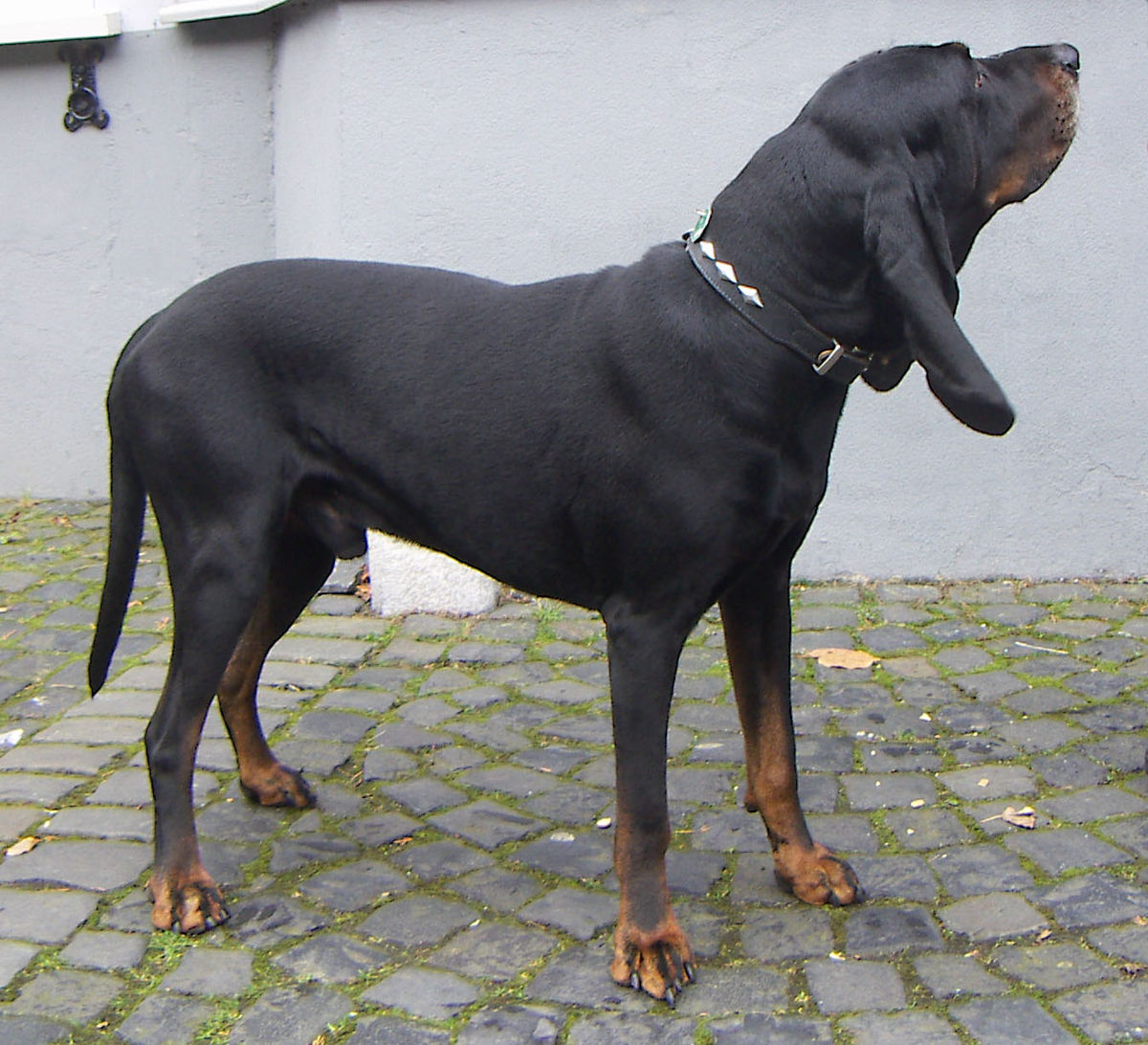 Black and Tan Coonhound  Wikipedia