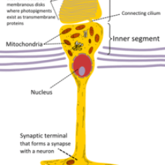 Parts Of The Eye Diagram And Function Volleyball Court Template Cone Cell - Wikipedia
