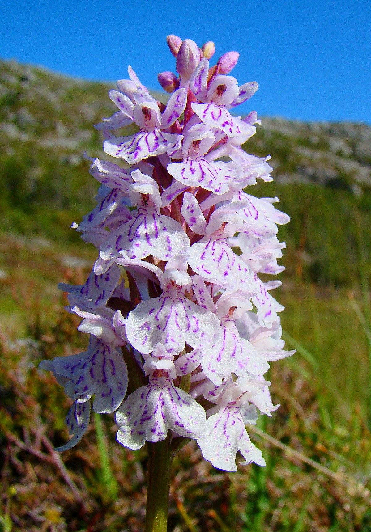 Dactylorhiza maculata  Wikipedia