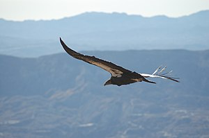 A California Condor soaring over Los Padres Na...