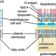 Bacteria Structure Diagram Marine Engine Cooling System Cell Wall Gram Positive Vs Negative Easybiologyclass Osc Microbio 03 Cellwalls
