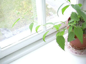 window gardening, brännässla, urtica dioica, s...