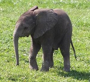 English: baby elephant, 33.5KB version