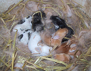 Baby rabbits in their nest