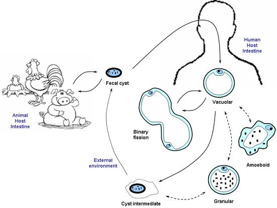Blastocystis  Wikipdia