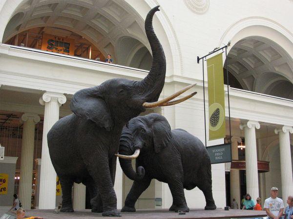Chicago Field Museum Elephant