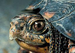 Eastern Box Turtle Head
