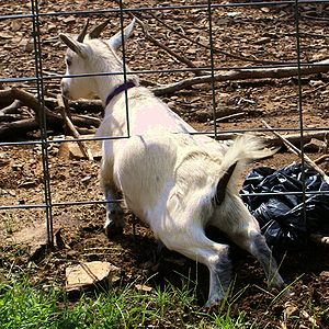 A goat squeezing through a fence