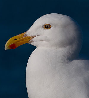 A western gull (larus occidentalis), taken in ...