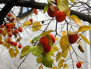 Ripe Hachiya persimmons on a tree in December
