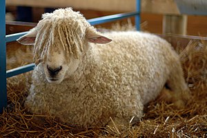 A sheep at the Maryland Sheep and Wool Festival