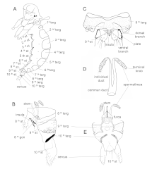 Fichier:Parasite170028-fig16 Illustrated guide of