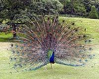 طاووس هندی در �ال نمایش پرهایش