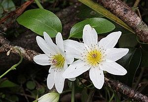 English: Puawhananga (Clematis_paniculata) flo...