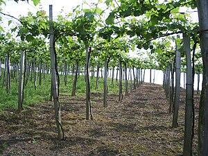 Uvas de chacolí