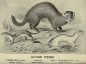 Least weasel, stoat and European polecat