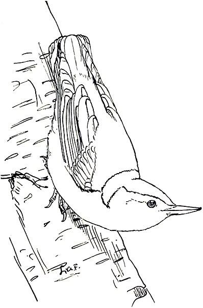 To accompany a manual of bird study/Sitta carolinensis
