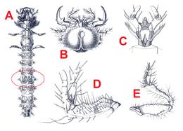Zandloopkevers Onderfamilie Wikipedia