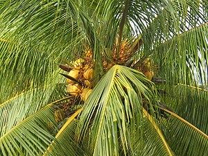 Coconut tree in Cuba