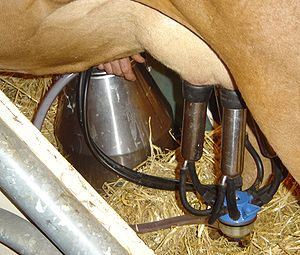 A cow milking machine