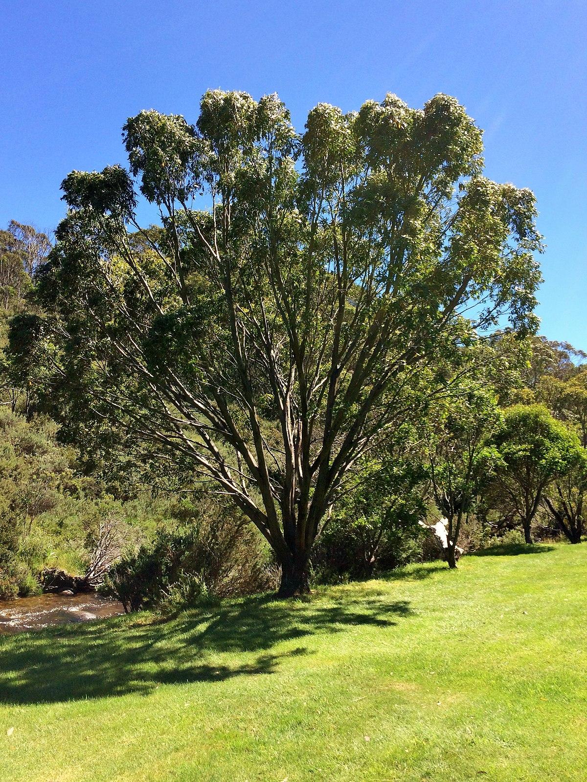 Eucalyptus stellulata  Wikipedia