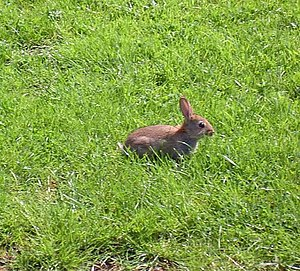 Rabbit rabbit Alongside road to the mill.