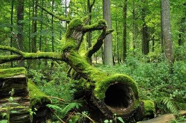 Białowieża Forest Wikipedia