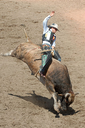 English: Bull riding at the Calgary Stampede. ...