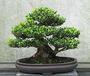 A Eurya (Eurya emarginata) bonsai on display a...