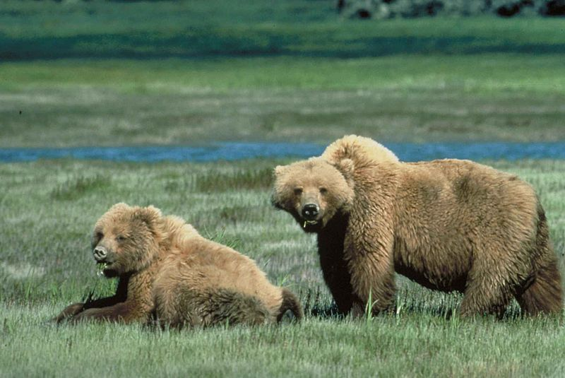 File:Grizzly bears animal wildlife.jpg