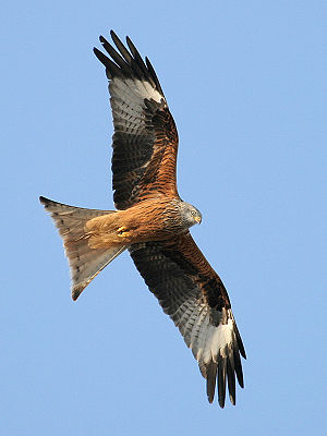 A Red Kite (Milvus milvus).