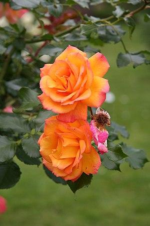 English: Sahara rose - Bagatelle Rose Garden (...