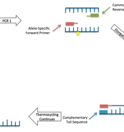 file schematic drawing of the kasp method kompetitive allele specific pcr png [ 1280 x 751 Pixel ]
