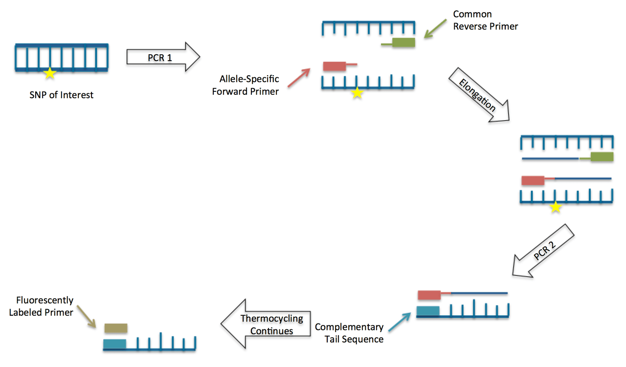 hight resolution of file schematic drawing of the kasp method kompetitive allele specific pcr png