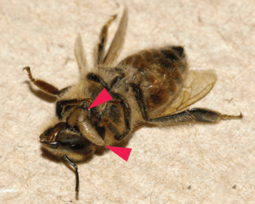 Two final instar larvae of Apocephalus borealis exiting a honey ,Buckelfliege Biene,Buckelfliege Bienen,bee worker at the junction of the head and thorax